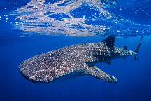 Китовые акулы вернулись на Пхукет